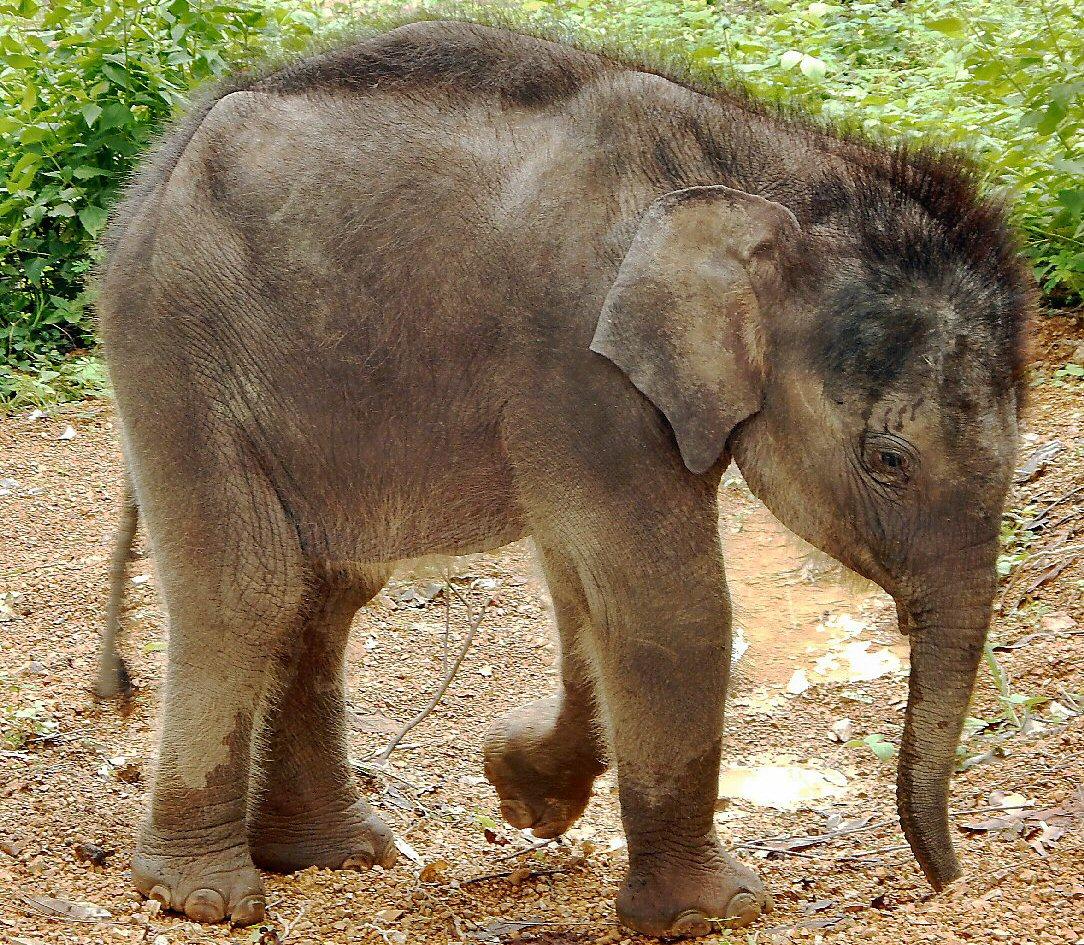 gold-an-abandoned-baby-elephant-vietnam