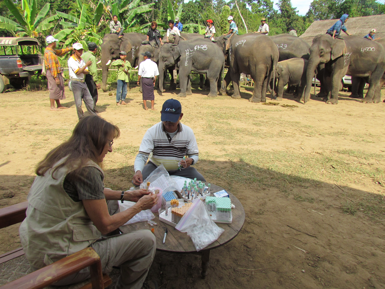 Mikota and Htut at a Myanmar logging elephant health camp
