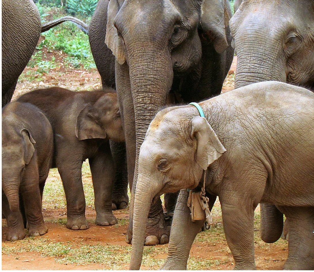 myanmar-baby-elephant-2