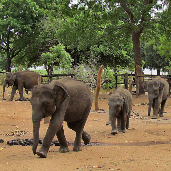 elephant transit center sri lanka Sri lanka : more tourists visit sri lanka\'s elephant transit home in udawalawe (sri lanka - latest news stories and top headlines.