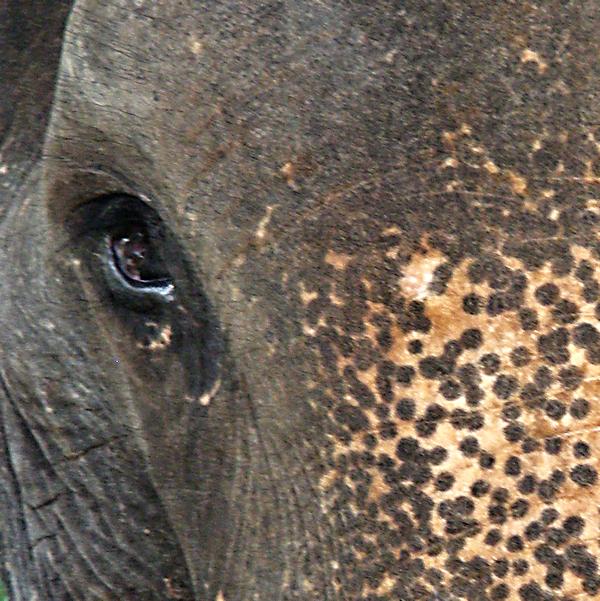 bull elephant Pinawalla Sri Lanka 600x600