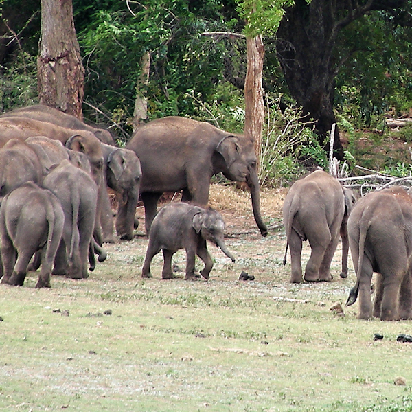 elephants at Elephant Transit Home Sri Lanka 600x600