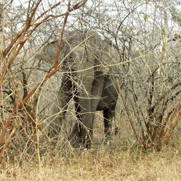wild elephant Yala Sri Lanka 600x600