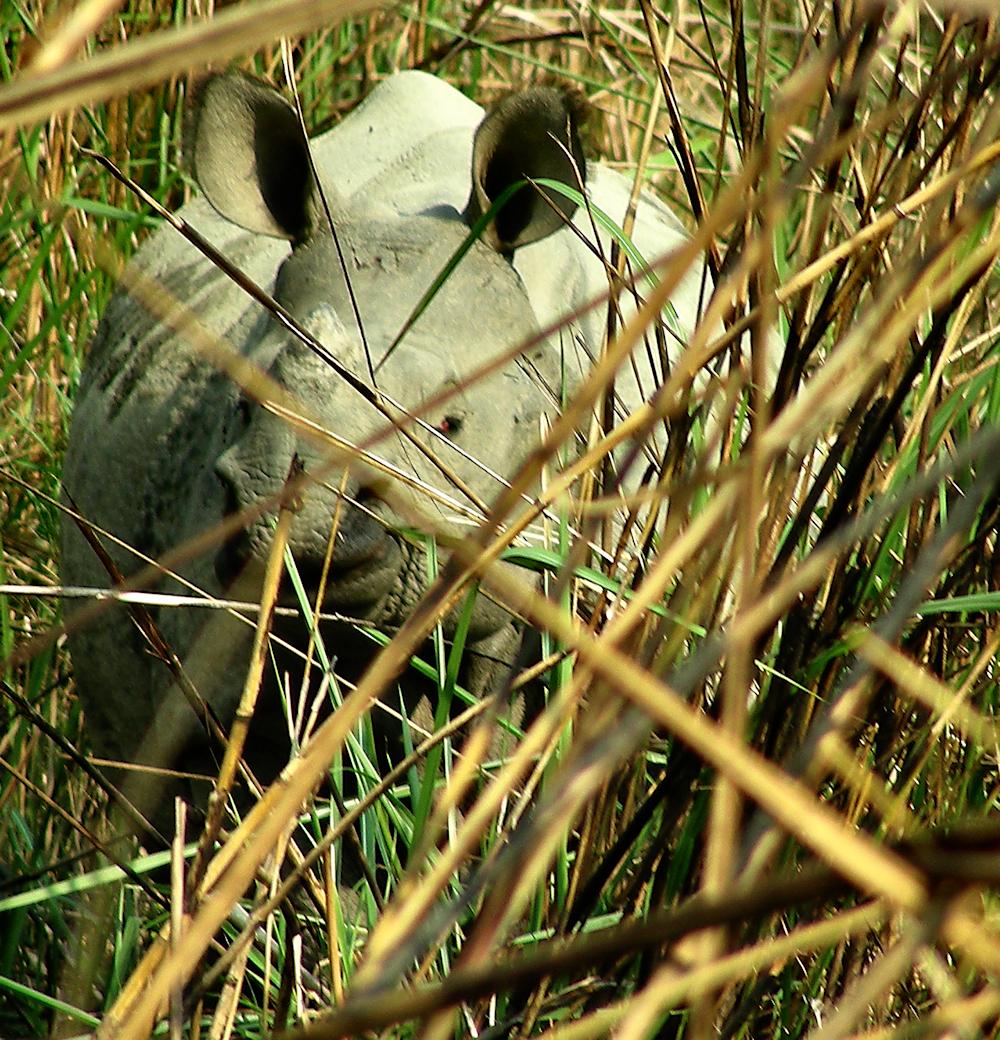 Rhino Chitwan National Park, Nepal